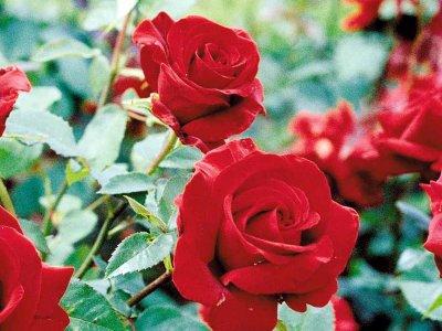 Rosenudstilling