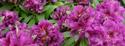 Rhodoendron