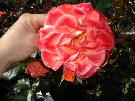 Rose planteskole sjælland