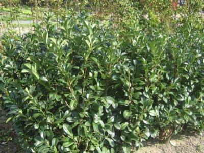 Laurbær (Prunus laurocerasus)