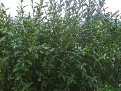 Hækplanter liguster