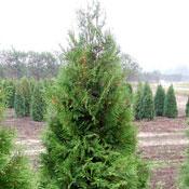 Thuja Brabant - Thuja Smaragd, plant thujahækplanter