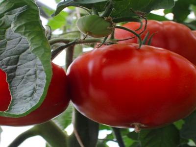 Tomater, mange slags