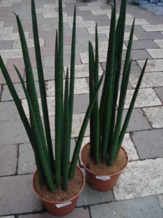 Hårdføre stueplanter