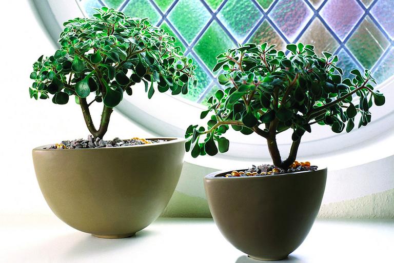 Stueplanter er igen blevet populære, de er både dekorative i hjemmet ...