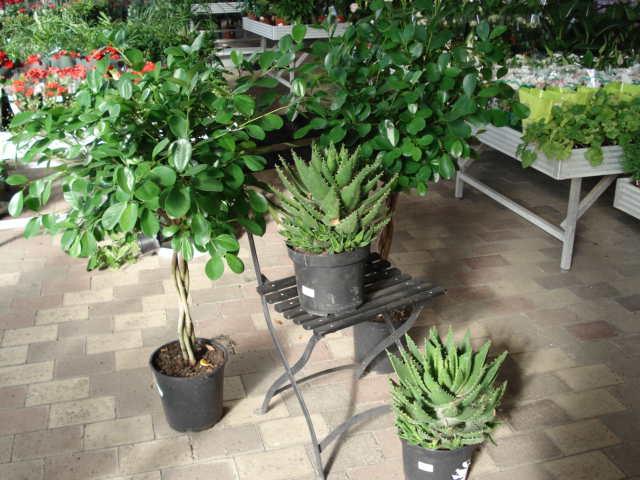 Stueplanter - Audebo Havecenter
