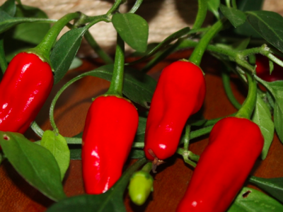 Chili og Peberplanter