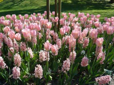 Tulipaner fra eget gartneri