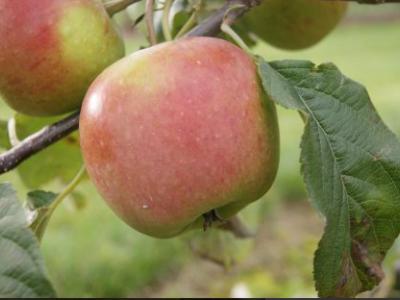 Æblets dag i Audebo