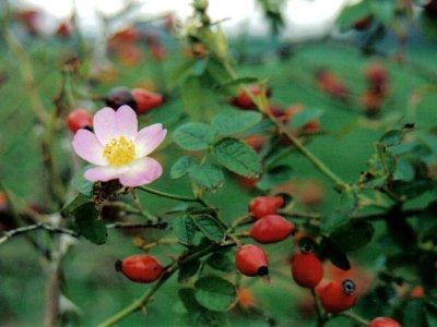 Rynket rose, æblerose m.m.